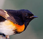 May Redstart