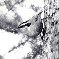 Red-Breasted Nuthatch Photo Credit: Blackford Collection
