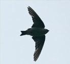 Black Swift