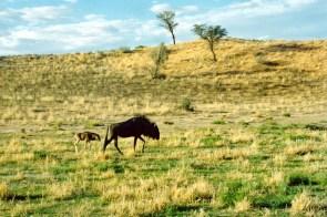Wildebeest and Child