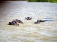 Hippo Herd
