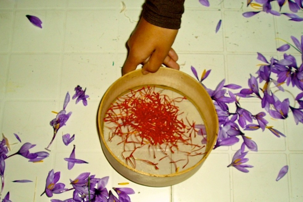 Saffron threads ready for the slow drying process