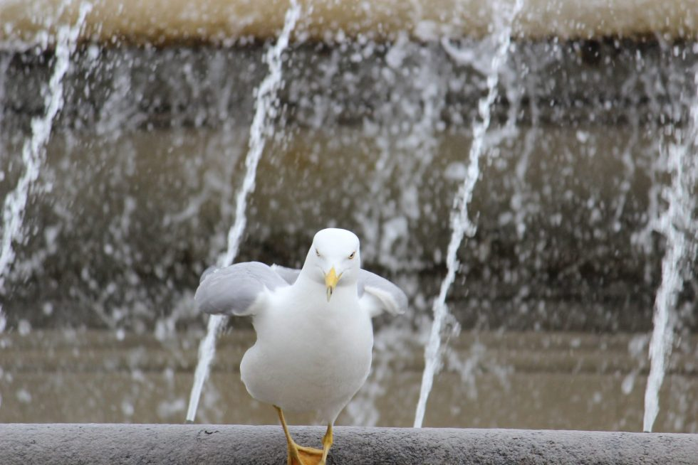 Rome's many fountains offer great places for birds to have a bath!