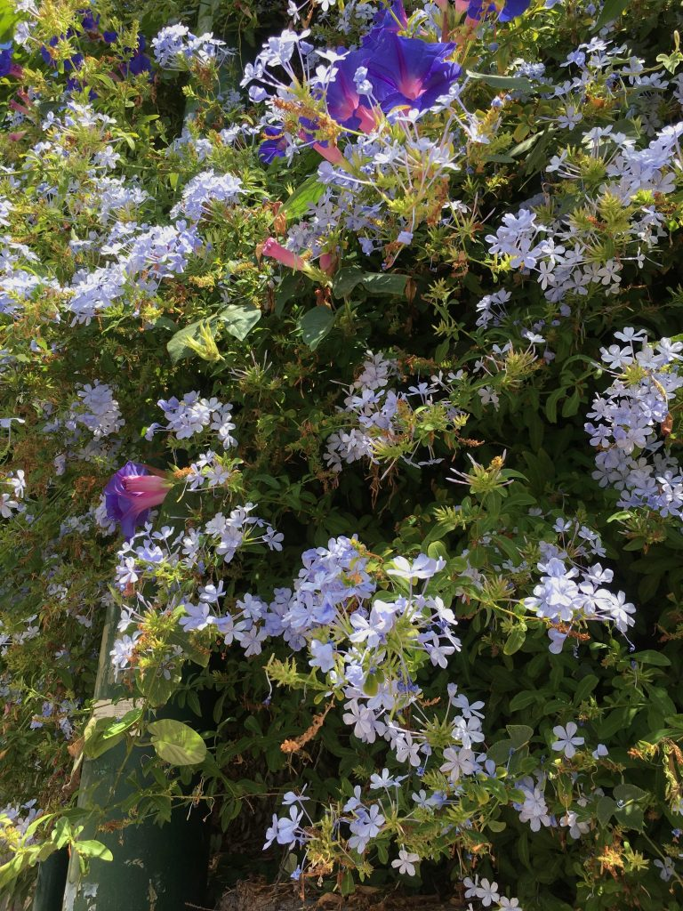 Capri is awash with a flower explosion