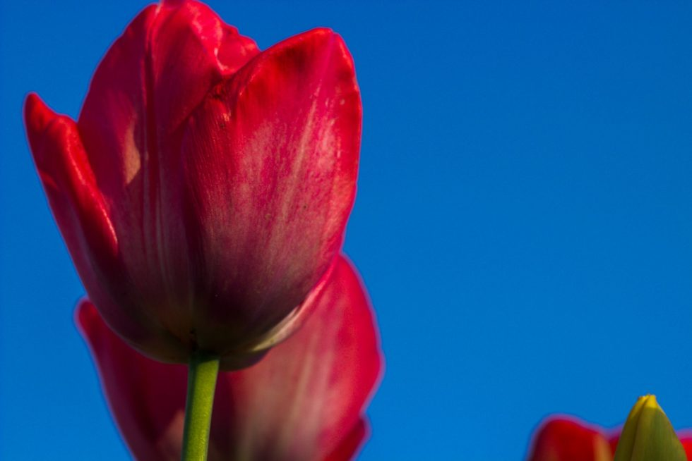 Rome's Tulip Park is in its second year