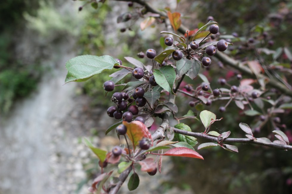 In-edible, beautiful berries in the Ninfa Gardens