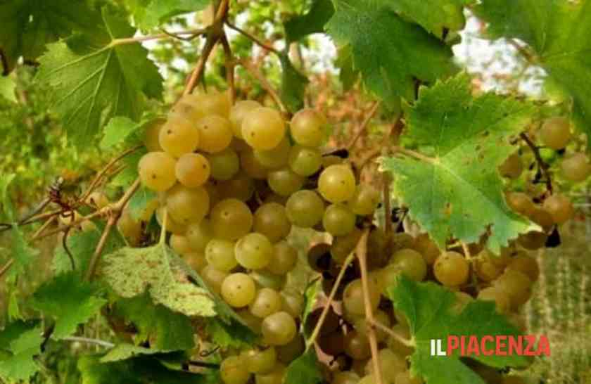 The Malvasia Candia Aromatica Grape, used in Leonardo da Vinci's vineyards