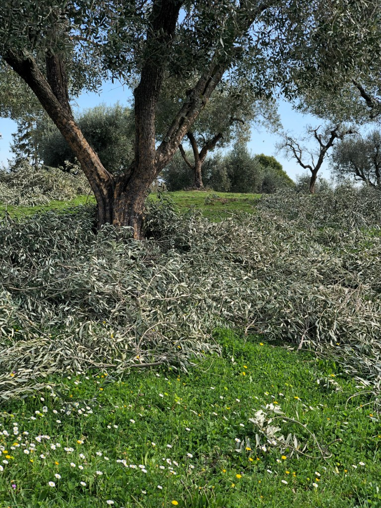 Spring gardening: trimming olive trees