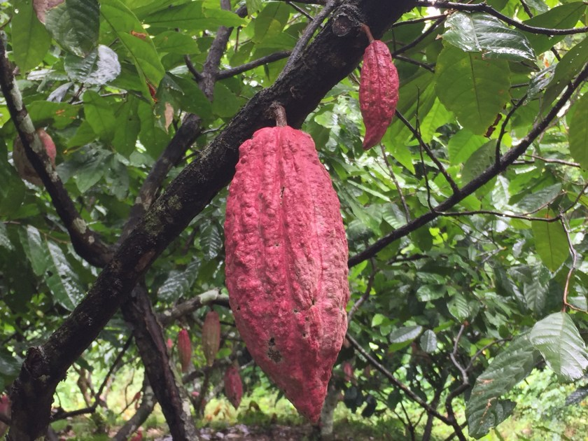 Cocoa pods on a cocoa tree; each contain about 40 cocoa beans