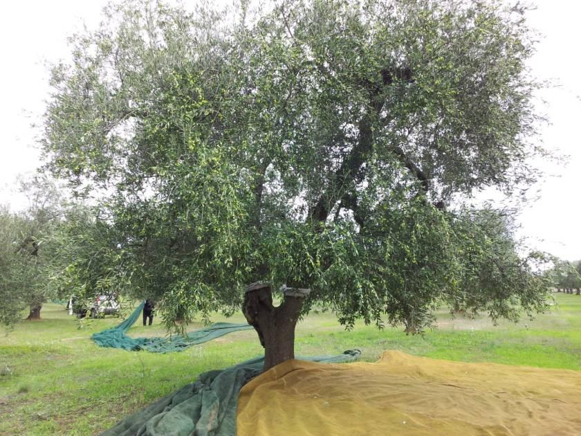 Organic olive trees on the Erredi Perrone estate