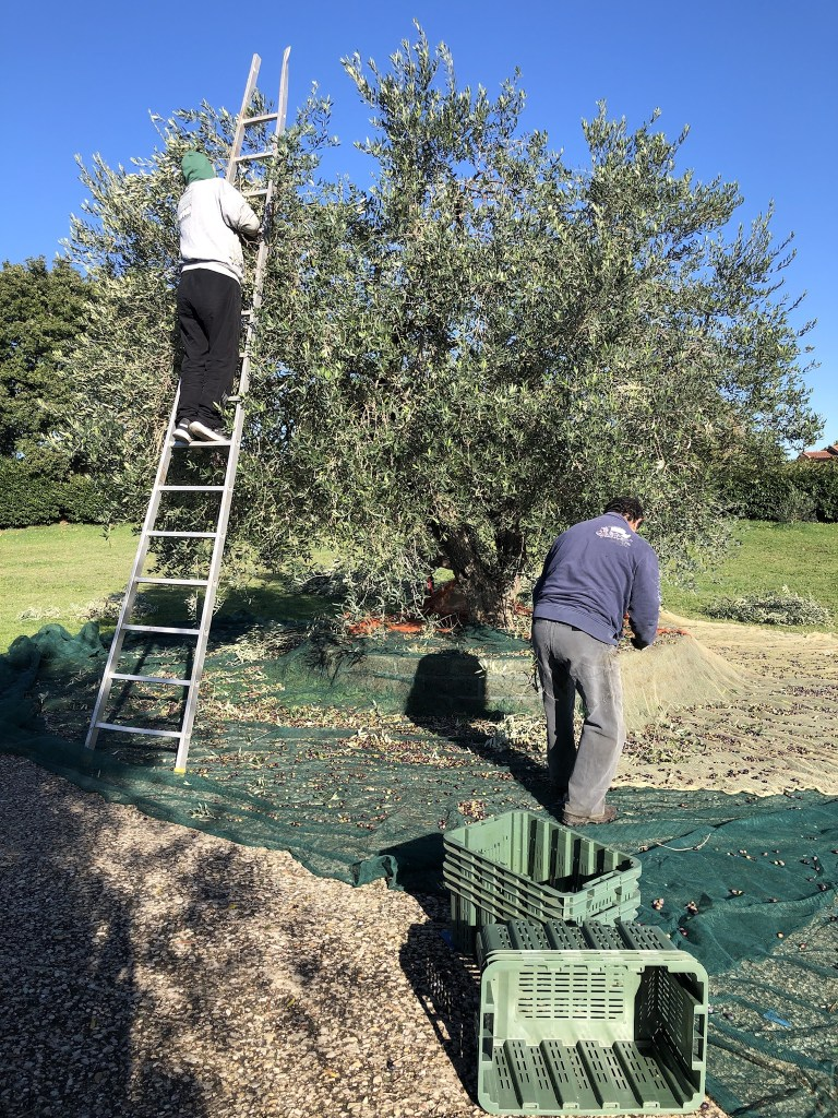 To pick olives from the tree top you need a ladder