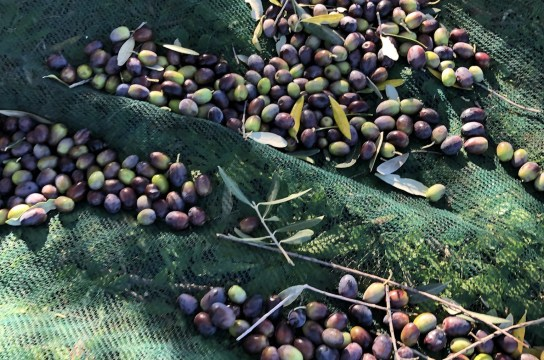 Learn all about Our Italian Olive Harvest in northern Lazio