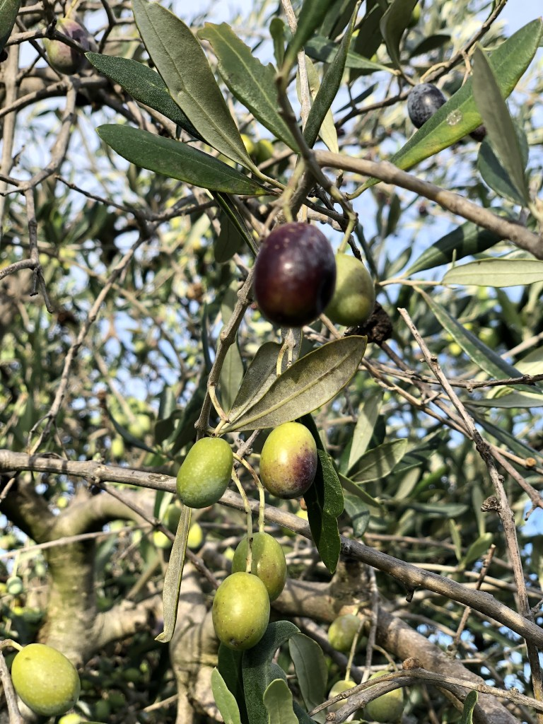 Leccino olives are one of the main olive varietals in the Lazio region where Rome is located. Italy has over 500 varietals!