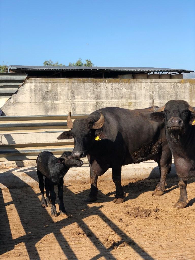 Baby water buffalo in Italy