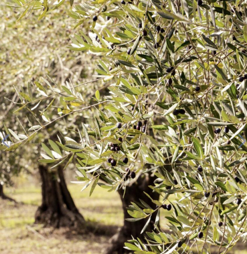 Alba Farm olive trees