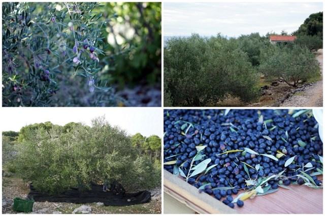 collage-olivenernte-5