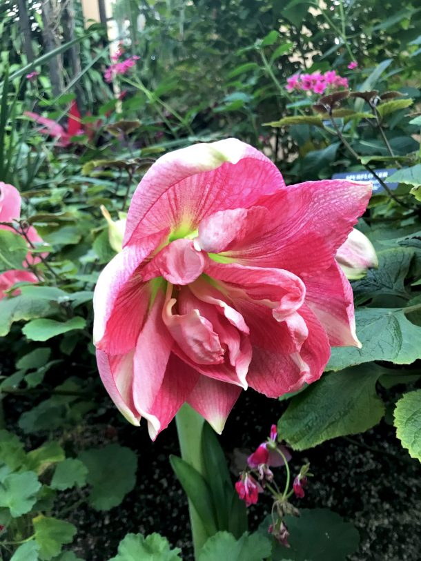 Photo of beautiful pink flower at the Longwod Gardens Conservatory