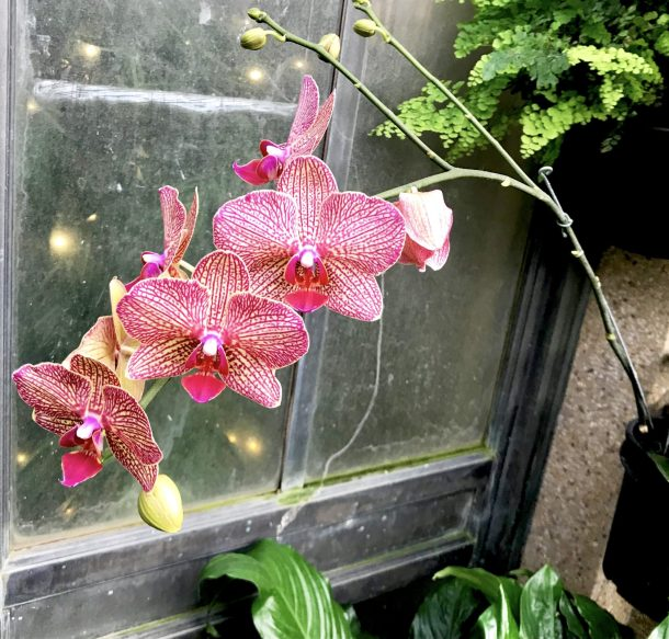 Beautiful pink, red, and white orchid at Longwood Gardens Conservatory