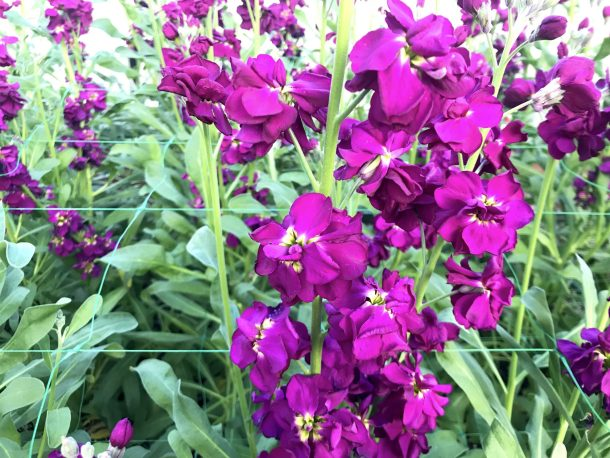Vibrant purple flowers at Longwood Gardens Conservatory