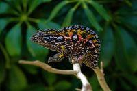 Gorgeous Adult Carpet Chameleons for Sale at FL Chams | FL ...