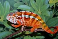 Carpet Chameleons In South Africa - Carpet Vidalondon