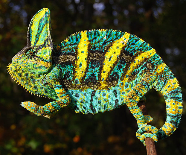 Cute Baby Gecos Wallpaper Premium High Orange Baby Veiled Chameleons For Sale