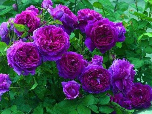 semillas-de-rosa-purpura-trepadora-envio-gratis-manual-18938-MLC20163856140_092014-F