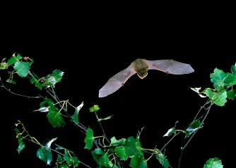 Common pipistrelle by Hugh Clark