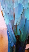 Lulu the parrot's blue feathers