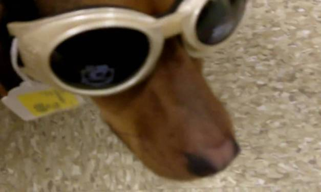 Dog Goggles Look Stunning on Scoobie!