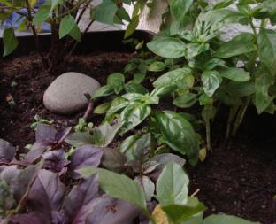Basilikum sieht hübsch aus und lässt sich in guter Erde auch ganz einfach über eine lange Zeit ziehen.
