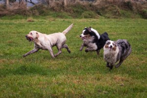 Dogs Running and Playing
