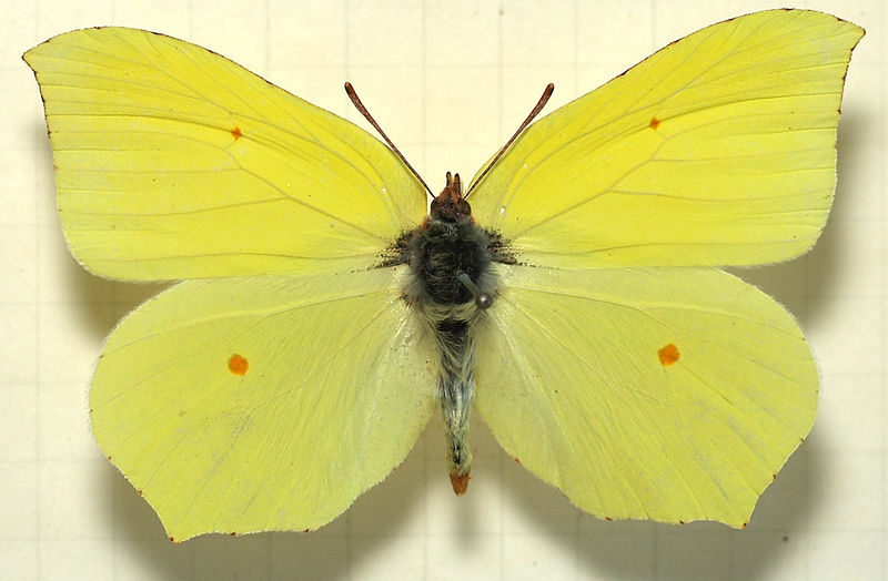 Butterfly Of The Month: April - The Brimstone