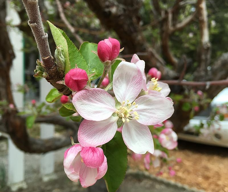Apples blooms