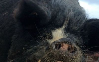 Protected: Kunekune and other initiatives