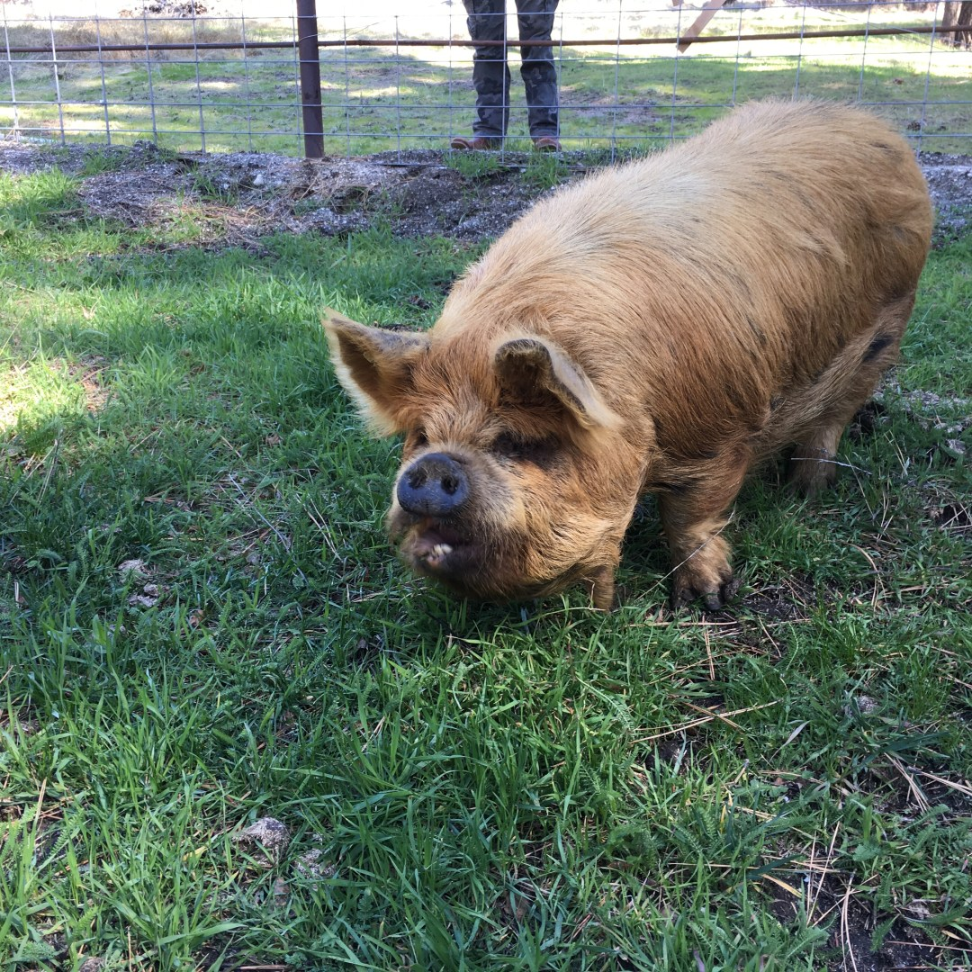 Kune Kune Pigs available Southern California