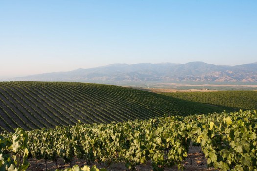 Vineyards of the Kavaklidere Winery.