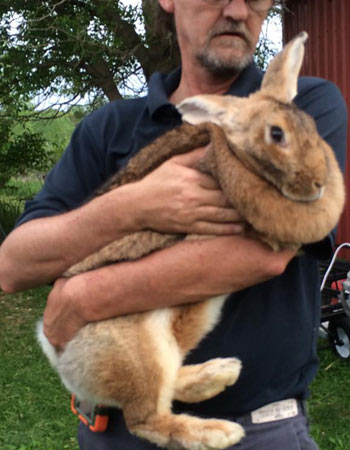 Flemish Giant Rabbit For Sale California : flemish, giant, rabbit, california, Flemish, Giant, Rabbit, Care,, Diet,, Lifespan,, (With, Pictures)