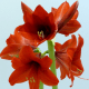 Amaryllis fleuristes fleurs artisan bonheur