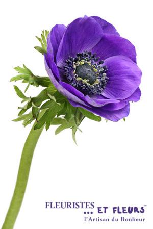 anémone violette fleuristes et fleurs artisan du bonheur