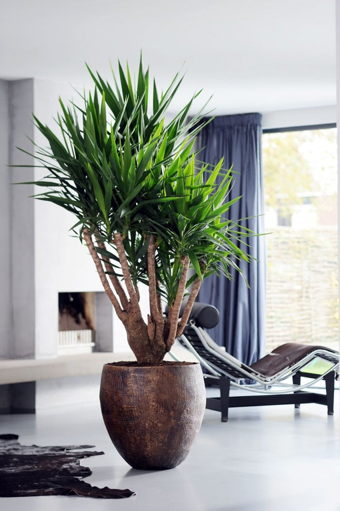 le yucca jolie plante au charme exotique id al pour votre int rieur. Black Bedroom Furniture Sets. Home Design Ideas