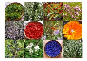 plantes-tinctoriales