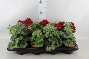 Géranium lierre rouge foncé