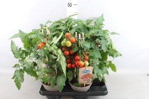 plante tomate