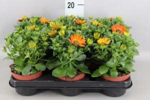 Osteospernum orange