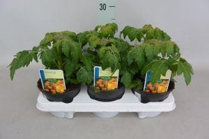 plante tomate jaune