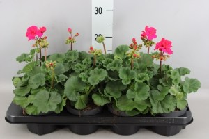 Géranium zonal rose cerise