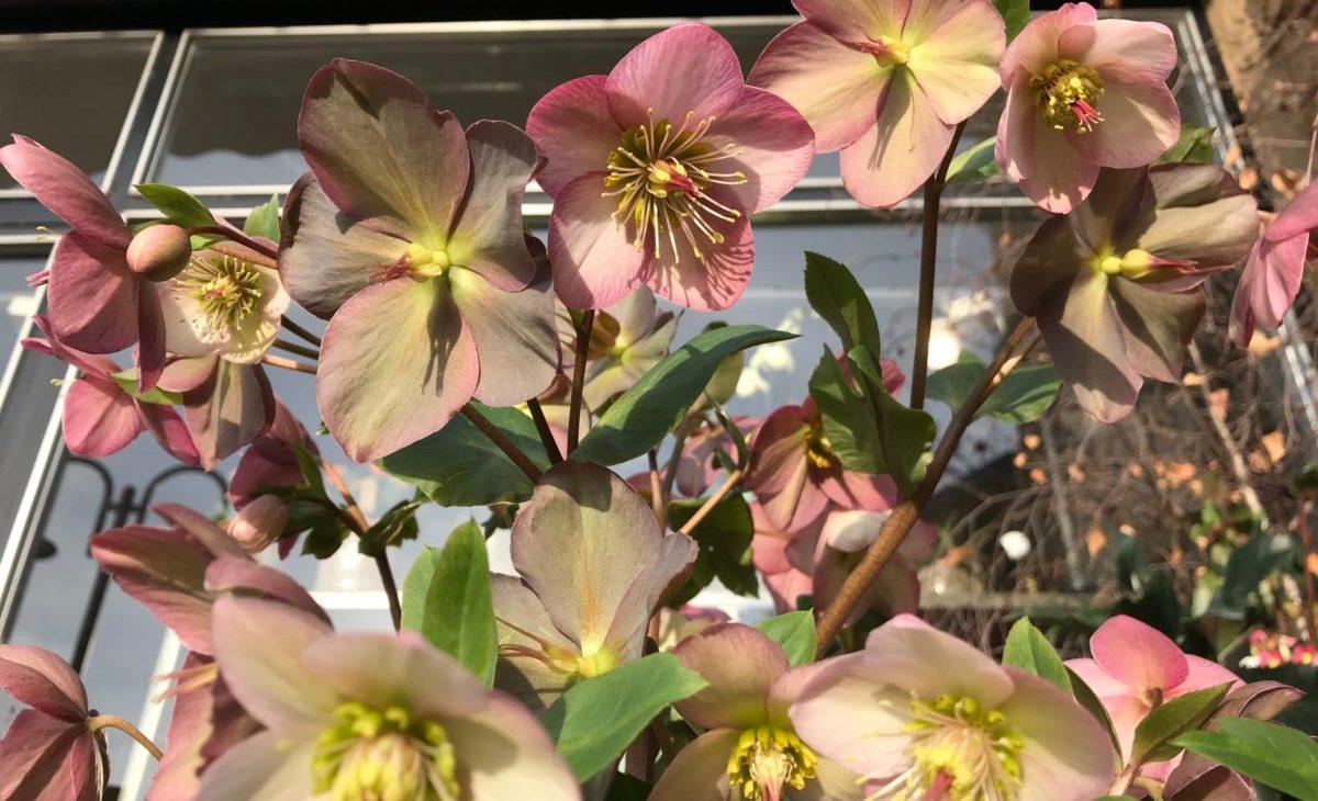 B.Cornut fleuriste - La magie des Hellébores
