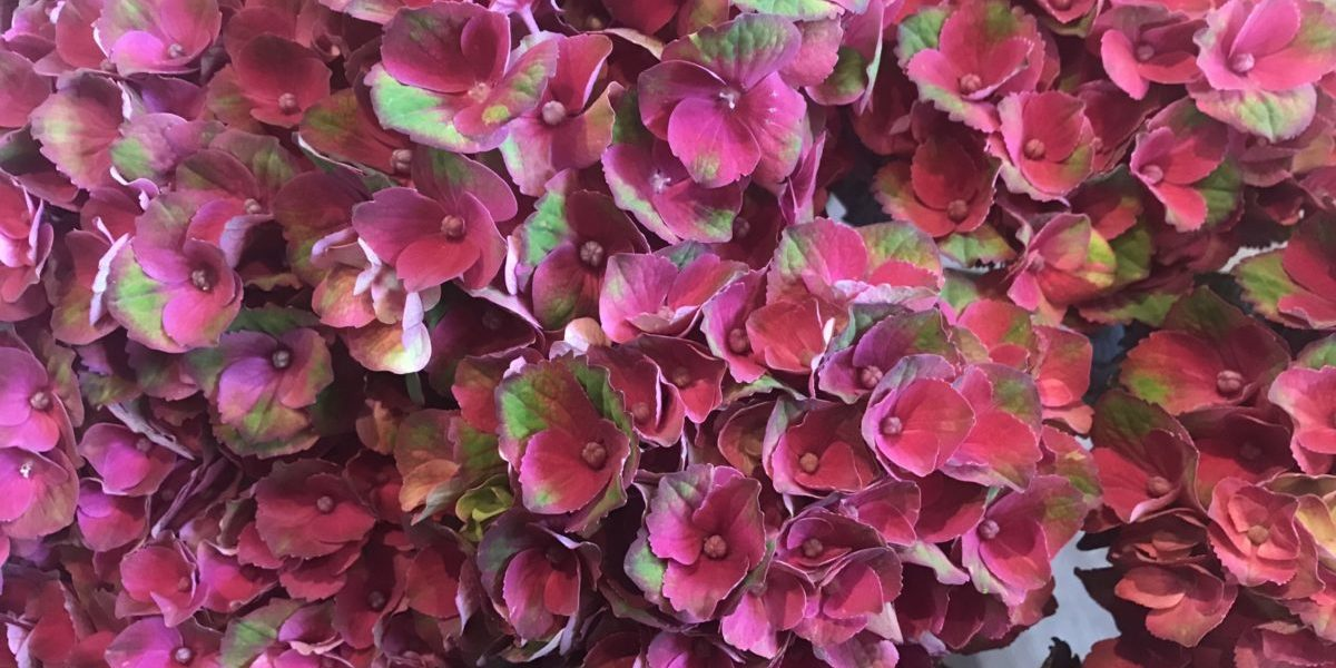 b.cornut fleuriste - Hortensias
