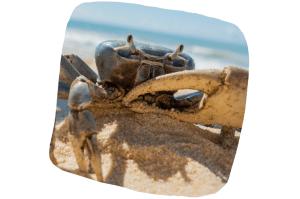 Dans les Antilles françaises, le crabe de terre est chassé puis engraissé pour être servi à Pâques